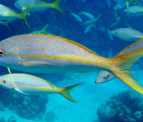 Yellowtail-Snapper 20+ LBs. | Key West Seafood Direct